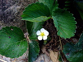 在地ㄟ台灣花:草莓花@雙連埤