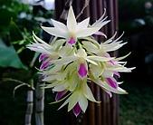 在地ㄟ台灣花:紫晶舌石斛@礁溪