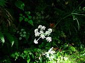 在地ㄟ台灣花:水芹菜@台北奧萬大