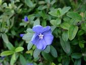 在地ㄟ台灣花:藍星花@員山
