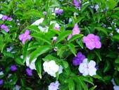 在地ㄟ台灣花:番茉莉@羅東