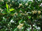 在地ㄟ台灣花:柚子花@三星