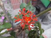 在地ㄟ台灣花:珊瑚油桐@車城