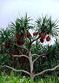 蘭嶼之風景人文篇:小睡一番後環島去~ 島上林投樹不少