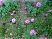 在地ㄟ台灣花:紫背草@三星