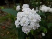 在地ㄟ台灣花:重瓣麻葉繡球@植物園