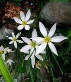 在地ㄟ台灣花:蔥蘭@內灣 (粉色為韭蘭)