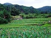 蘭嶼之風景人文篇:沿路隨處可見芋頭田~ 蘭嶼的主要農作物