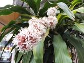 在地ㄟ台灣花:香龍血樹(巴西鐵樹)@羅東