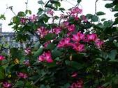 在地ㄟ台灣花:艷紫荊@羅東