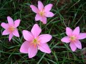 在地ㄟ台灣花:韭蘭@士林