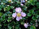 在地ㄟ台灣花:刺葉黃褥花@礁溪
