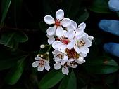 在地ㄟ台灣花:厚葉石斑木@板橋