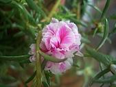 在地ㄟ台灣花:重瓣松葉牡丹@羅東