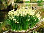 在地ㄟ台灣花:水仙@陽明山
