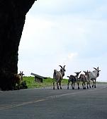 蘭嶼之風景人文篇:還可以看到羊咩咩逛大街