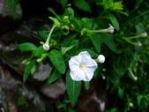 在地ㄟ台灣花:紫茉莉@內灣 (有白 紫 & 黃色)