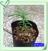 園藝苗木花卉:雲南油杉.JPG