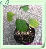 園藝苗木花卉:加拿大黃金楓.JPG
