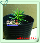 園藝苗木花卉:台灣坪林油杉2.JPG