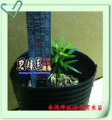 園藝苗木花卉:台灣坪林油杉1.JPG