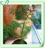園藝苗木花卉:IMG_2669.JPG