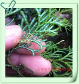 園藝苗木花卉:IMG_2672.JPG