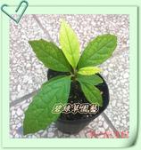 園藝苗木花卉:多花藍果樹.JPG