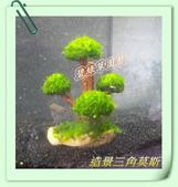 水族水草:造景樹三角莫斯.JPG