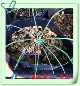園藝苗木花卉:IMG_2673.JPG