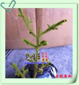 園藝苗木花卉:垂穗石松.JPG