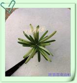 園藝苗木花卉:IMG_2640.JPG