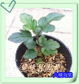 園藝苗木花卉:八棱海棠.JPG