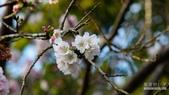 二○二○陽明山櫻花季:8.jpg