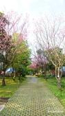 二○二○陽明山櫻花季:10.jpg