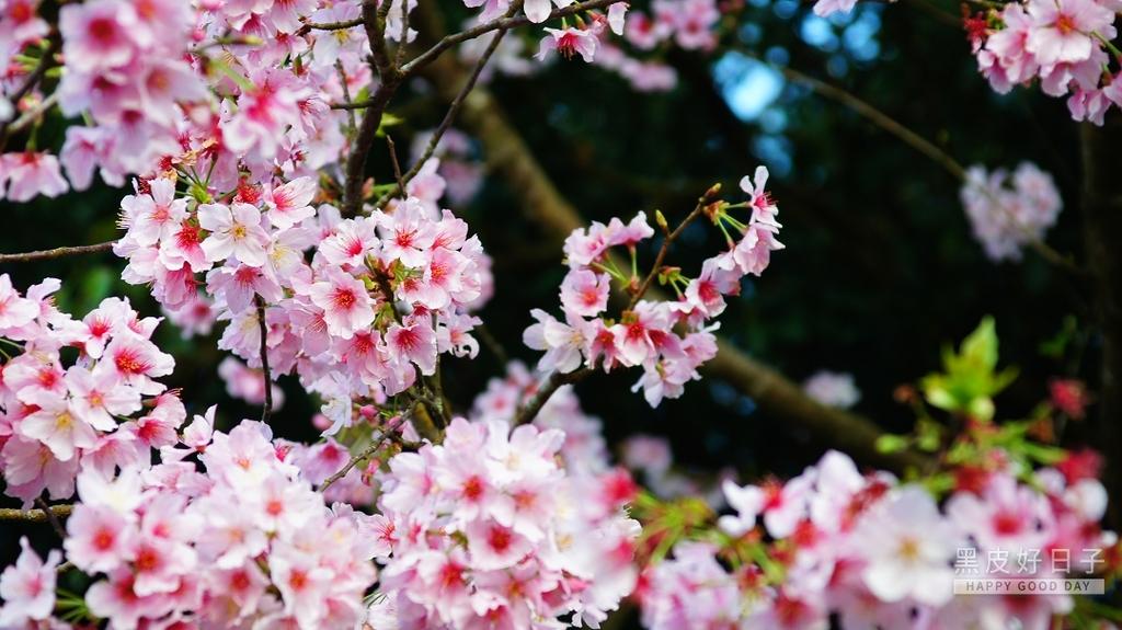 二○二○陽明山櫻花季:16.jpg