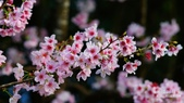 二○二○陽明山櫻花季:20.jpg