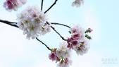 二○二○陽明山櫻花季:9.jpg