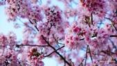 二○二○陽明山櫻花季:13.jpg
