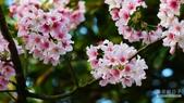 二○二○陽明山櫻花季:18.jpg