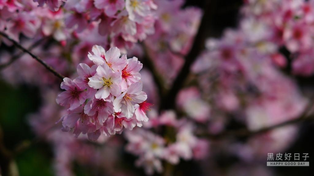二○二○陽明山櫻花季:19.jpg