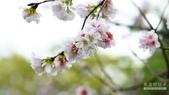 二○二○陽明山櫻花季:4.jpg