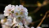 二○二○陽明山櫻花季:7.jpg