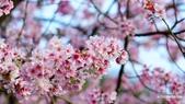 二○二○陽明山櫻花季:17.jpg