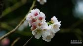 二○二○陽明山櫻花季:3.jpg
