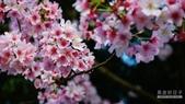 二○二○陽明山櫻花季:15.jpg