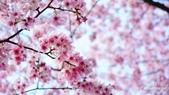 二○二○陽明山櫻花季:14.jpg