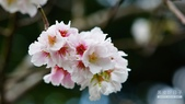 二○二○陽明山櫻花季:5.jpg