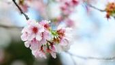 二○二○陽明山櫻花季:6.jpg