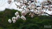 二○二○陽明山櫻花季:1.jpg